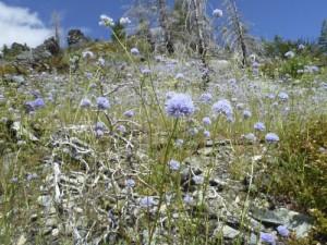 Bluehead gilia (Gilia capitata)