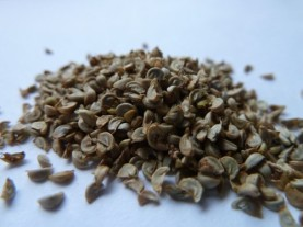 Oregon checkerbloom (Sidalcea oregana spp. spicata) seed