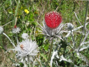Cirsium occidentale3