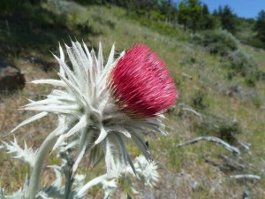 Western thistle (Cirsium occidentale)