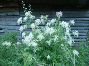 holodiscus-discolor1