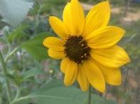 Bolander's sunflower (Helianthus bolanderi)