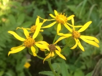 Arrowleaved ragwort (Senecio triangularis)