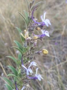 Vinegarweed (Trichostema lanceolatum)