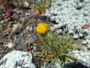 Erigeron bloomeri