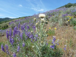 Peregrine thistle (Cirsium cymosum) with silver lupine (Lupinus albifrons)