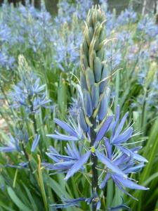Great camas (Camassia leichtlinii)