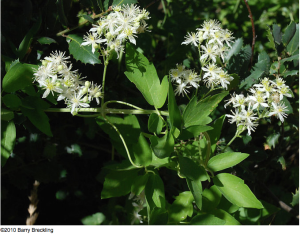 Western white clematis (Clematis ligusticifolia)
