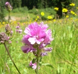 Oregon checkermallow (Sidalcea oregana)