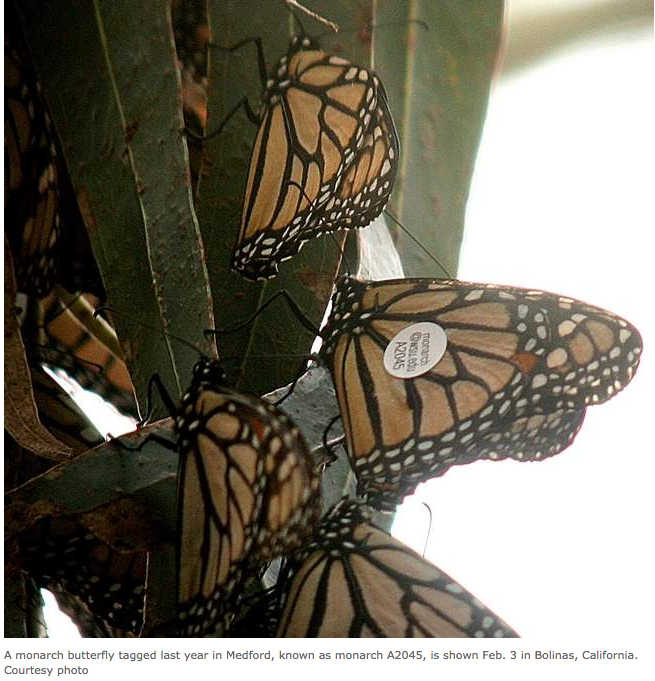 A2045 tagged monarch butterfly