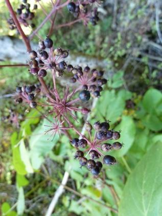 Aralia berries