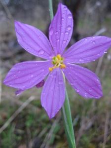 Douglas' grasswidow (Olsynium douglasii)