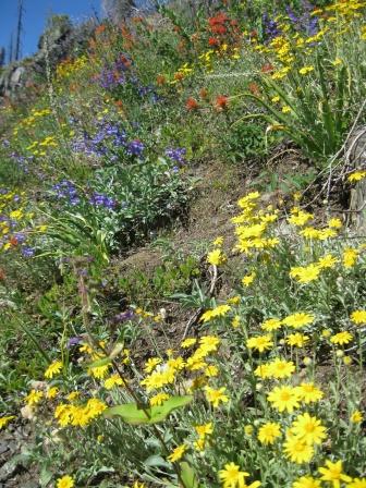 Wildflowers in an ungrazed meadow in the Klamath-Siskiyou