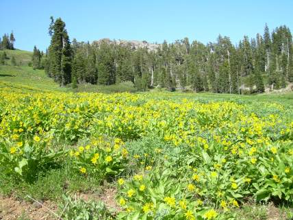 Ungrazed balsamroot meadow in the high country of the Klamath-Siskiyou.