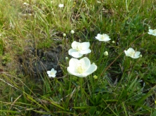 Inside the cattle exclusion the native herbaceous community is allowed to flower and provide pollinator habitat. This wildland beauty, marsh grass of parnassus (Parnassia palustris) is great pollinators in moist mountain meadows.