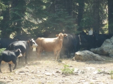 Cows in the high country of the Siskiyou Crest.