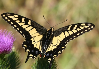 Anise swallowtail butterfly (Papilio zelicaon)