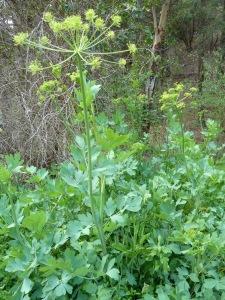 Lomatium californicum1
