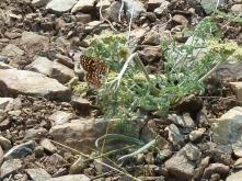 checkerspot nectaring on bigseed biscuitroot (Lomatium macrocarpum)
