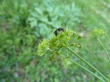 Pollinator species foraging on a Lomatium californicum flower