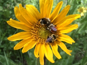 Bumblebees getting ready for sleep on mules ears (Wyethia angustifolia)