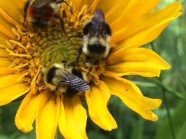 Bumblebees getting ready for sleep on mules ears (Wyethia angustifolia)