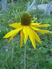 waxy coneflower (Rudbeckia glaucescens)