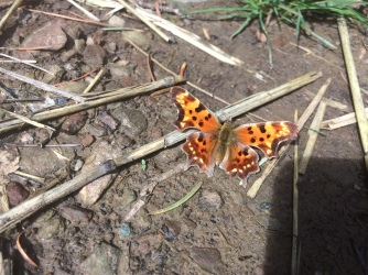 Faun anglewing (Polygonia faunus) emerging as an overwintering adult