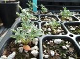 Silver bush lupine (Lupinus albifrons) seedlings in nursery tray.