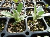Oregon sunshine (Eriophyllum lanatum) seedlings