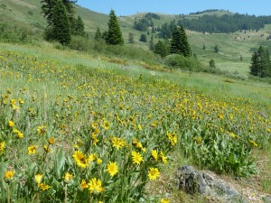 Balsamorhiza deltoidea in the Siskiyou Mountains