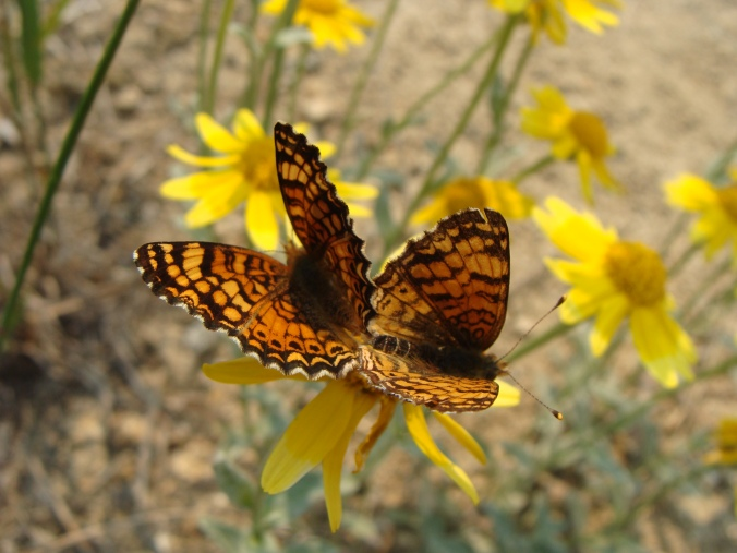 Mylitta crescent (Phyciodes mylitta) mating pair on Oregon sunshine (Eriophyllum lanatum) Photo: Linda Kappen