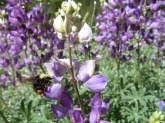 yellow faced bumble bee foraging on silver bush lupine (Lupinus albifrons)
