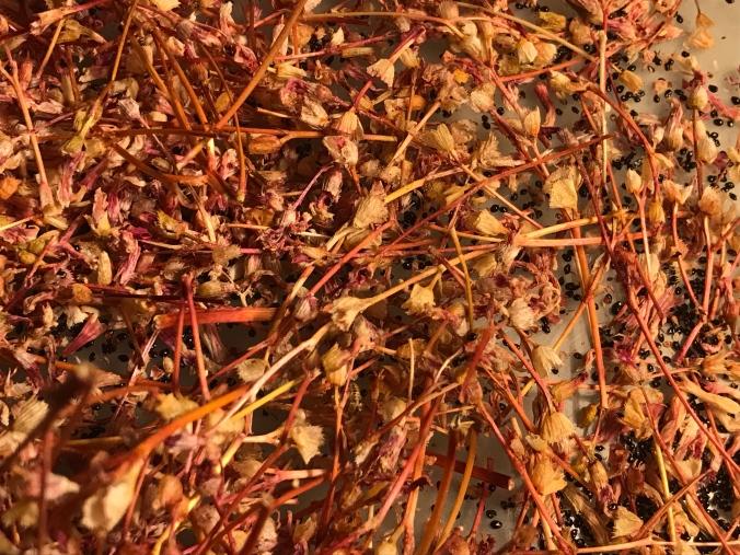 Siskiyou lewisia (Lewisia cotyledon) seed