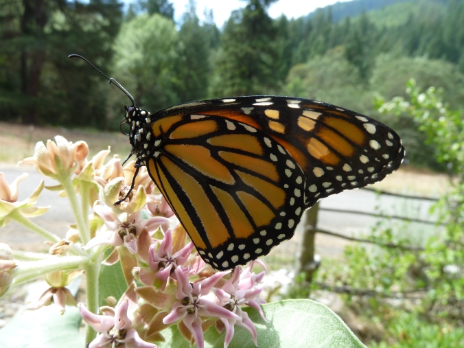 Asclepias speciosa with monarch butterfly