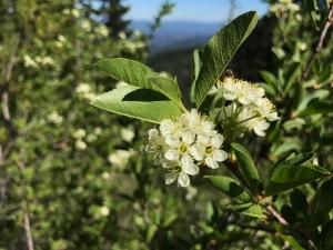 Bitter cherry (Prunus emarginata)