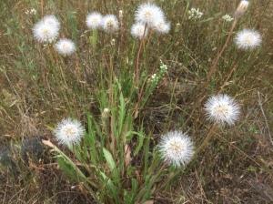 California dandelion (Agoseris grandiflora)