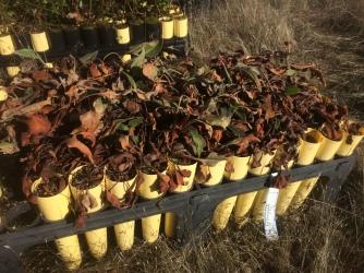 Tall wooly buckwheat (Eriogonum elatum var. villosum)